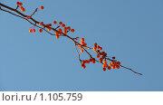 Купить «Ветка с ягодами», фото № 1105759, снято 1 ноября 2008 г. (c) Усова Светлана  Юрьевна / Фотобанк Лори