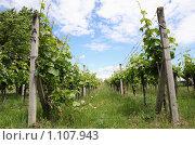 Купить «Виноградник», фото № 1107943, снято 7 июня 2009 г. (c) Наталия Таран / Фотобанк Лори