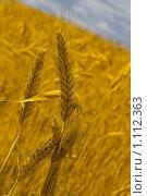 Пшеничные колоски. Стоковое фото, фотограф Наталья Ревкина / Фотобанк Лори