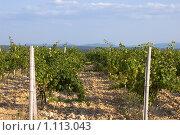 Крымские виноградники. Стоковое фото, фотограф Виктор Косьянчук / Фотобанк Лори