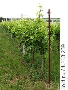 Купить «Виноградник», фото № 1113239, снято 7 июня 2009 г. (c) Наталия Таран / Фотобанк Лори
