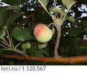Сочное яблоко. Стоковое фото, фотограф Александер Ляпин / Фотобанк Лори