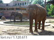 Купить «Слоны в зоопарке», фото № 1120611, снято 1 августа 2009 г. (c) Наталия Таран / Фотобанк Лори
