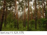 Сосновый лес. Стоковое фото, фотограф Виктор Агеев / Фотобанк Лори