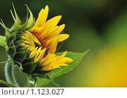 Солнечный цветок (подсолнух) Стоковое фото, фотограф Лариса Бондаренко / Фотобанк Лори