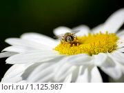 Купить «Насекомое на цветке», фото № 1125987, снято 19 августа 2006 г. (c) Роман Бородаев / Фотобанк Лори