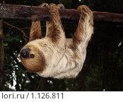 Купить «Ленивец в зоопарке в Таиланде», фото № 1126811, снято 16 августа 2018 г. (c) Анжелика Самсонова / Фотобанк Лори