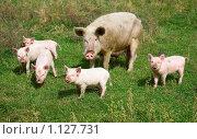 Купить «Семья свиней», фото № 1127731, снято 30 августа 2009 г. (c) hunta / Фотобанк Лори