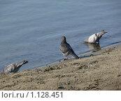 Голуби купающиеся в воде. Стоковое фото, фотограф Юлия Бобер / Фотобанк Лори