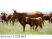Купить «Теленок и корова пасутся на лугу», фото № 1129667, снято 22 июля 2009 г. (c) Александр Подшивалов / Фотобанк Лори