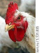 Купить «Петух. Домашняя птица.», фото № 1131835, снято 4 октября 2009 г. (c) Ярослав Крючка / Фотобанк Лори