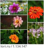 Купить «Летние цветы. Коллаж», эксклюзивное фото № 1134147, снято 22 июля 2019 г. (c) lana1501 / Фотобанк Лори