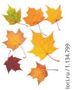 Кленовые листья на белом фоне. Стоковое фото, фотограф Анфимов Леонид / Фотобанк Лори