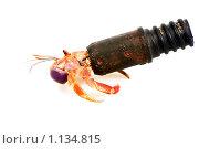 Рак-отшельник (лат. Paguroidea). Жилищный кризис. Стоковое фото, фотограф Ирина Кожемякина / Фотобанк Лори