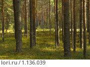 Купить «Сосновый бор летом», фото № 1136039, снято 9 сентября 2009 г. (c) Вадим Субботин / Фотобанк Лори