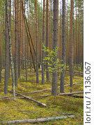 Купить «В сосновом бору. Молодые и взрослые деревья. Поваленные сосны.», фото № 1136067, снято 9 сентября 2009 г. (c) Вадим Субботин / Фотобанк Лори