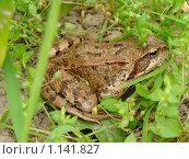 Лягушка в траве. Стоковое фото, фотограф Анатолий Вороничев / Фотобанк Лори