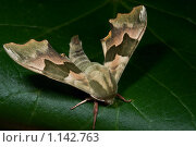 Купить «Сумеречная бабочка Липовый бражник на зелёном листе», фото № 1142763, снято 5 июня 2009 г. (c) Александр Чураков / Фотобанк Лори
