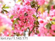 Купить «Весеннее цветение», фото № 1143171, снято 7 мая 2009 г. (c) Ольга Дмитриева / Фотобанк Лори