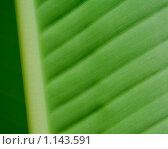 Зелёный пальмовый лист. Крупный план. Стоковое фото, фотограф Kribli-Krabli / Фотобанк Лори