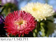 Купить «Астры», фото № 1143711, снято 26 сентября 2009 г. (c) Евгений Дробжев / Фотобанк Лори
