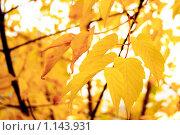 Осень. Желтые листья. Стоковое фото, фотограф Ilogin / Фотобанк Лори