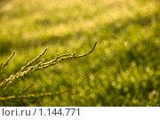 Ветка можжевельника на фоне искрящейся росы. Стоковое фото, фотограф Наталья Ревкина / Фотобанк Лори