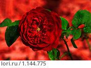 Красная роза на фоне красной щепы. Стоковое фото, фотограф Наталья Ревкина / Фотобанк Лори