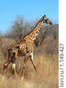 Жираф в саванне на фоне кустов. Стоковое фото, фотограф Димитрий Сухов / Фотобанк Лори