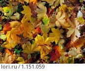 Осенние листья. Стоковое фото, фотограф Анатолий Сверчков / Фотобанк Лори
