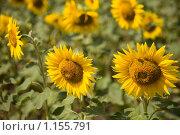 Подсолнухи. Стоковое фото, фотограф Елена Тимошенко / Фотобанк Лори