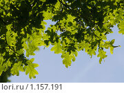 Дубовые листья на голубом фоне. Стоковое фото, фотограф Лилия Барладян / Фотобанк Лори