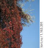 Разросшийся виноград осенью. Стоковое фото, фотограф Татьяна Емельянова / Фотобанк Лори