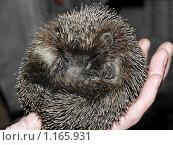 Купить «Ежик на руках, свернувшийся в клубок», фото № 1165931, снято 12 октября 2009 г. (c) Лукьянов Иван / Фотобанк Лори