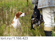 Пойнтер на охоте. Стоковое фото, фотограф Агибалова Кристина / Фотобанк Лори