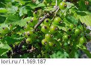 Купить «Созревающие ягоды красной смородины на ветке», эксклюзивное фото № 1169187, снято 26 июня 2008 г. (c) lana1501 / Фотобанк Лори
