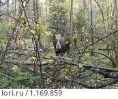 Купить «Лось в лесу», эксклюзивное фото № 1169859, снято 11 октября 2009 г. (c) lana1501 / Фотобанк Лори