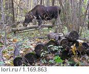 Купить «Лось в лесу», эксклюзивное фото № 1169863, снято 11 октября 2009 г. (c) lana1501 / Фотобанк Лори