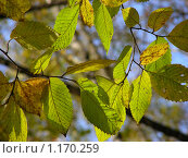 Купить «Лещина обыкновенная (орешник) осенью на фоне  неба», эксклюзивное фото № 1170259, снято 11 октября 2009 г. (c) lana1501 / Фотобанк Лори