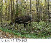 Купить «Лось в лесу», эксклюзивное фото № 1170263, снято 11 октября 2009 г. (c) lana1501 / Фотобанк Лори
