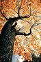 Осеннее кленовое дерево. Вид снизу, фото № 1170619, снято 3 октября 2009 г. (c) Евгений Захаров / Фотобанк Лори