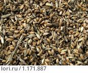 Купить «Потемневшие зерна пшеницы», эксклюзивное фото № 1171887, снято 26 сентября 2009 г. (c) Анатолий Матвейчук / Фотобанк Лори