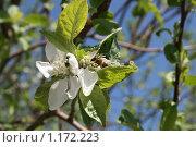 Цветущая ветка яблони на фоне голубого неба,пчела на цветке. Стоковое фото, фотограф Татьяна Кирилова / Фотобанк Лори