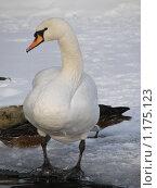 Белый лебедь. Стоковое фото, фотограф Геннадий Кефели / Фотобанк Лори