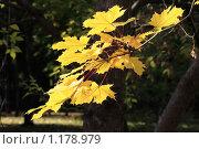 Купить «Осенняя ветка клена», фото № 1178979, снято 3 октября 2009 г. (c) Яременко Екатерина / Фотобанк Лори