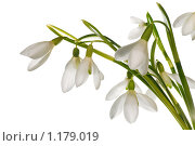 Купить «Букетик подснежников на белом фоне», фото № 1179019, снято 15 марта 2009 г. (c) Юрий Брыкайло / Фотобанк Лори