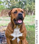 Купить «Портрет собаки», фото № 1179419, снято 4 октября 2009 г. (c) Олег Хархан / Фотобанк Лори