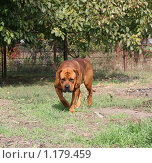 Купить «Собака готовится к нападению», фото № 1179459, снято 4 октября 2009 г. (c) Олег Хархан / Фотобанк Лори