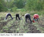 Купить «Сбор урожая картофеля. Вид на людей сзади», фото № 1181499, снято 26 августа 2008 г. (c) Сычёва Татьяна / Фотобанк Лори