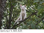 Белый кот на дереве. Стоковое фото, фотограф Ольга Зарубина / Фотобанк Лори